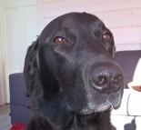 Musti-koira poseeraa